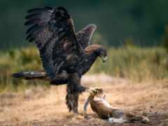 орлан, птица, extraction