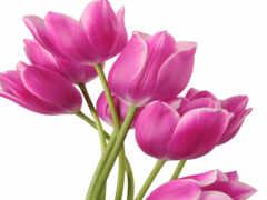 тюльпан, прозрачный, clipart
