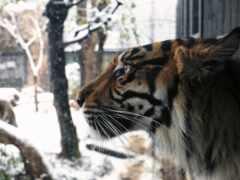 хищник, кот, winter