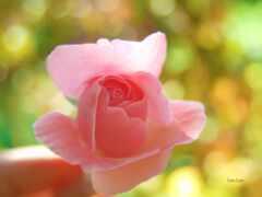 роза, arm, заставка