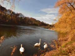 осень, природа, лебедь