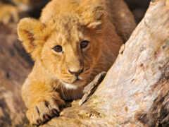 lion, разработанный, wallpaperscraft