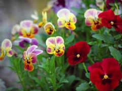flowers, violets, pansies