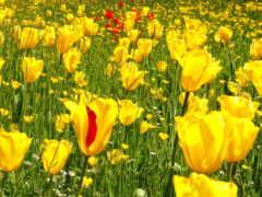 цветы, тюльпан, yellow