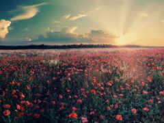 поле, facebook, cvety
