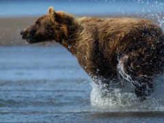медведь, медведи, zhivotnye Фон № 96287 разрешение 1920x1080