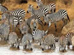 стадо, waters, зебры