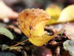 autumn, листок