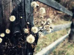цветов, засохших, одуванчики