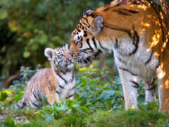 тигр, server, бенгальский