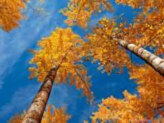 осень, золотистый, лист