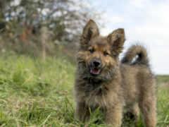 щенок овчарки