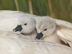 лебедь, птица, цыпочка