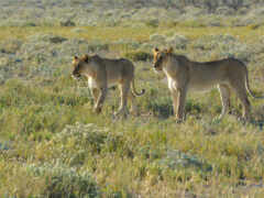 lion, animal, саванна