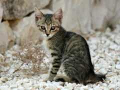 кот, striped, котенок