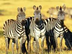 зебры, zebra, саванне