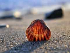 seashell, summer, пляж