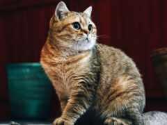 arabian, кот, mau