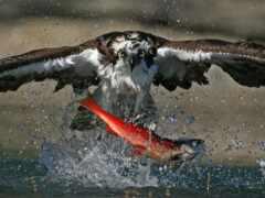 hawk, fish, птица