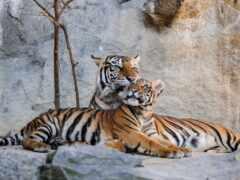 tapety, тигр, telefon