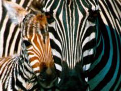 cebras, fotos, rub