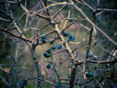 осень, branch, sloe
