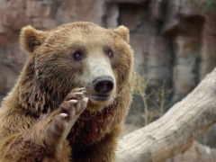 медведь, лапой, машет