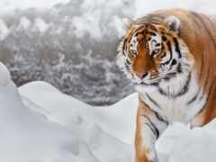 тигр, amur, снег