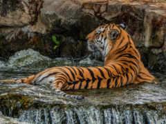 тигр, tigers, тигры