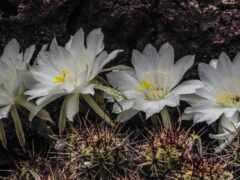 большой, кактус, цветы