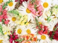 daisy, цветы, marguerite