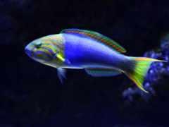 голубая рыба