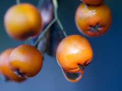 ягоды, макро, оранжевые