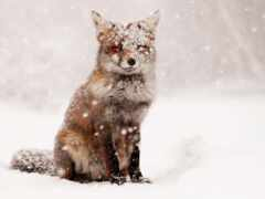 фокс, снег, avtozapchast