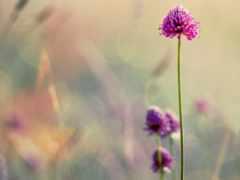 cvety, clover, нежные