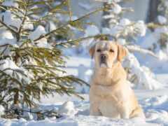 собака, снегу, labrador