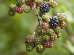 зелёный, blackberry, ежевики