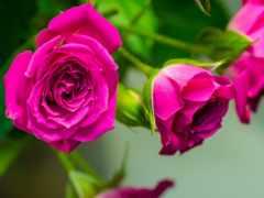 розы, cvety, бутоны