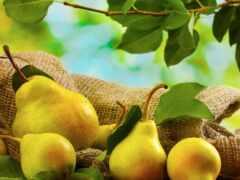 груша, плод, столик