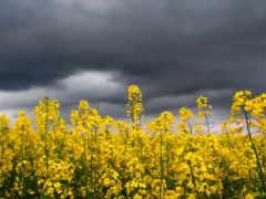 cvety, желтые, полевые Фон № 170121 разрешение 1680x1050