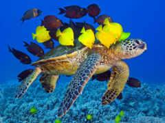 морская черепаха, рыбки
