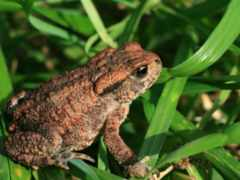 toad, common, toads