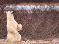 медведь, animal, white