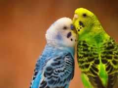 попугай, wavy, scare