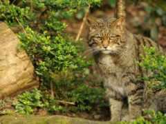 wild, кот, лесная