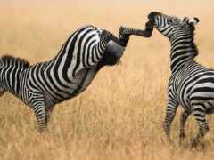 зебры, zebra, животных
