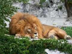 left, lion, спать
