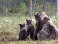 медведь, animal, baby
