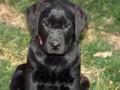 perro, color, negro
