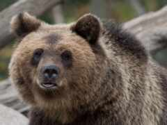 медведь, морда